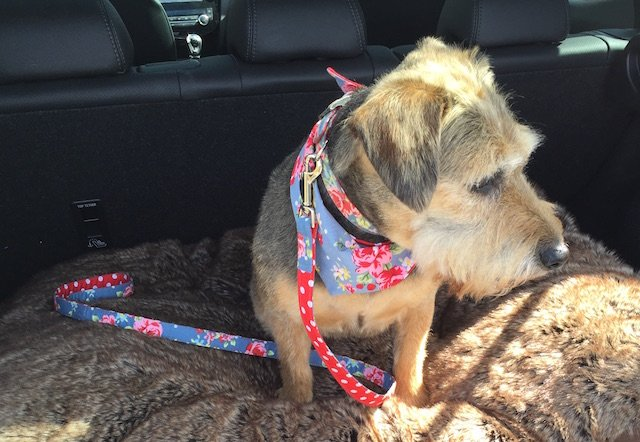 Fizz wearing blossomco handmade uk dog collar lead bandana