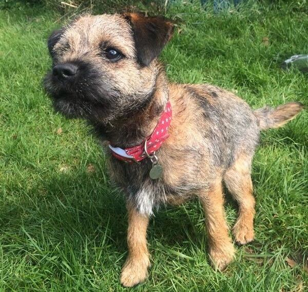 Skipper the Border Terrier wearing the BlossomCo Stanley dog collar